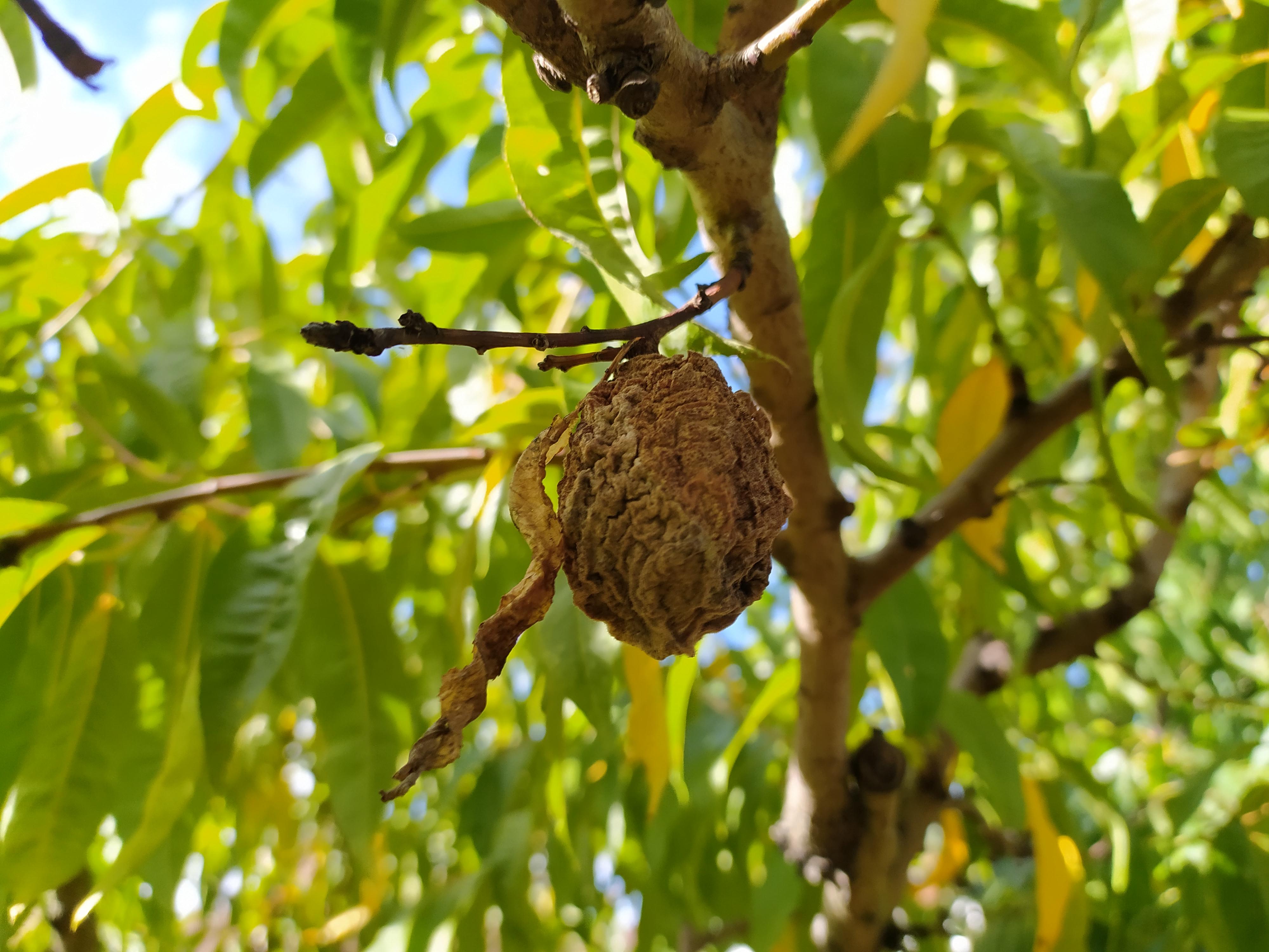 Szedjük le a fákról a gyümölcsmúmiákat!