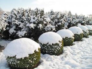 Télen is figyelni kell a buxusokat