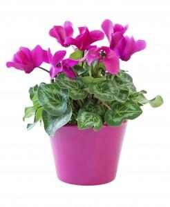 Ciklámen növényeken fitotoxikus tüneteket nem okoz