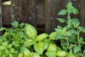 A fűszernövények kis hellyel is beérik, legalább nem vadulnak el