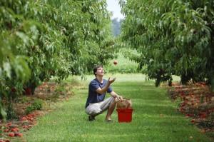 A gyep a forróságban, extra párát, a lepotyogó gyümölcsnek némi védelmet is nyújt