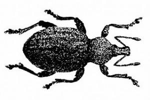 Hamvas vincellérbogár (Otiorrhynchus ligustici)