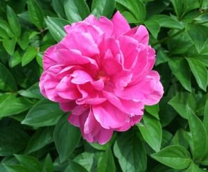 A pünkösdi rózsához türelem kell