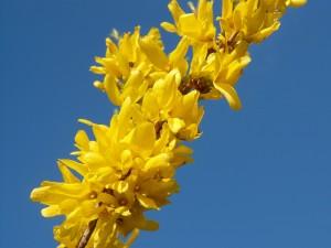 A díszcserjéket általában virágzás után ajánlott metszeni