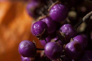Őszi lila gyöngyök Kínából